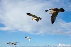 Hochfliegende Seemöwen Stockfotografie