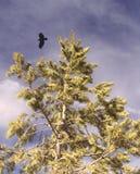 Hochfliegender Adler über Baum Lizenzfreies Stockbild