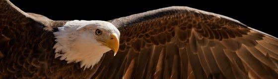 Hochfliegender Adler stockbilder