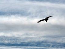 Hochfliegender Adler. Stockbild