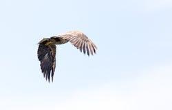 Hochfliegender Adler Stockfotografie