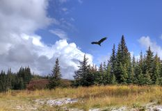 Hochfliegender Adler mit Landschaft Stockbild