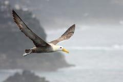 Hochfliegender Albatros Lizenzfreie Stockbilder