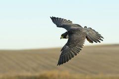 Hochfliegender Falke Lizenzfreie Stockfotos