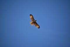 Hochfliegender Falke gegen einen blauen Himmel Lizenzfreie Stockbilder