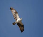 Hochfliegender Fischadler Lizenzfreie Stockfotografie
