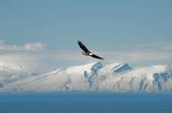 Hochfliegender kahler Adler Stockbild