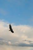 Hochfliegender kahler Adler Stockfotografie