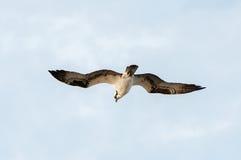 Hochfliegender Osprey Stockbild