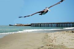 Hochfliegender Pelikan lizenzfreies stockbild
