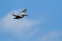 Hochfliegender Pelikan Stockbild