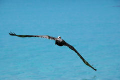 Hochfliegender Pelikan Stockfotografie