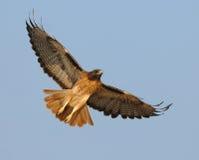 Hochfliegender roter Heck-Falke Stockbild
