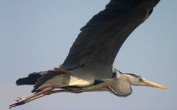Hochfliegender Vogel Lizenzfreie Stockbilder
