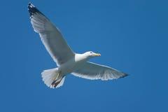 Hochfliegender Vogel Stockfoto