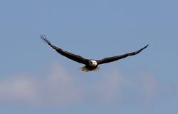 Hochfliegender Weißkopfseeadler Lizenzfreie Stockbilder