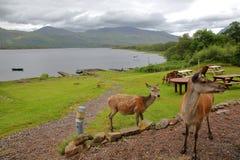 HOCHLÄNDER, GROSSBRITANNIEN - 24. JUNI 2017: Rote Rotwild auf dem Ufer von Loch Maree im Westteil der Nordhochländer, Schottland Stockbild