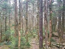 Hochländer in hohen Bäumen Virgina stockfoto