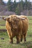 Hochland Bull Lizenzfreie Stockbilder