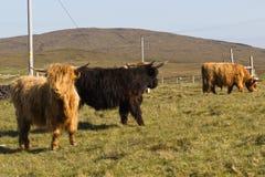 Hochland cattles Stockbilder
