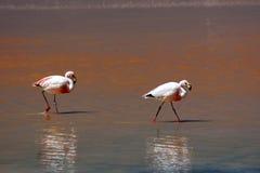 Hochland-Flamingos in der roten Lagune Lizenzfreie Stockfotografie