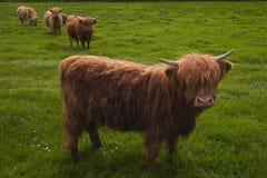 Hochland-Kühe Lizenzfreie Stockbilder