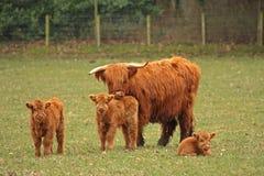 Hochland-Kühe Stockfotografie