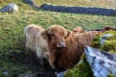 Hochland-Kühe stockfoto
