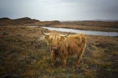 Hochland-Kuh stockfoto