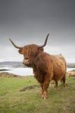 Hochland-Kuh lizenzfreie stockbilder