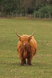 Hochland-Kuh Lizenzfreies Stockfoto