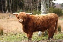 Hochland-Kuh stockfotos