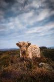 Hochland-Kuh Stockbild