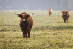 Hochland-Kuh Lizenzfreie Stockfotografie