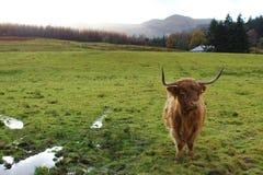 Hochland-Kuh auf dem Gebiet stockbild