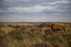 Hochland-Kuh im Höchstbezirk, Großbritannien Lizenzfreie Stockfotos