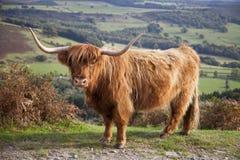 Hochland-Kuh im Höchstbezirk, Großbritannien Lizenzfreie Stockfotografie