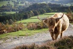 Hochland-Kuh im Höchstbezirk, Großbritannien Stockfotos