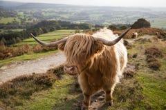 Hochland-Kuh im Höchstbezirk, Großbritannien Lizenzfreie Stockbilder