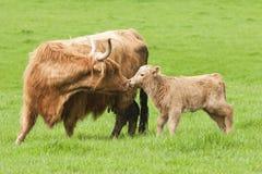 Hochland-Kuh mit Kalb Lizenzfreie Stockbilder