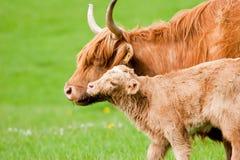 Hochland-Kuh mit Kalb Stockbilder