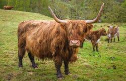 Hochland-Kuh, Schottland lizenzfreie stockfotografie