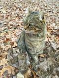 Hochland-Luchs-Katze in Autumn Leaves Lizenzfreie Stockbilder