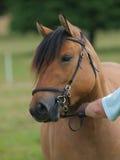 Hochland-Pony-Kopf-Schuss Lizenzfreie Stockfotos