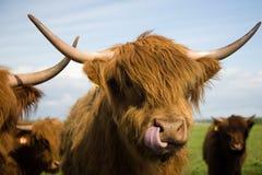Hochland-Vieh Lizenzfreies Stockbild