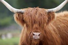 Hochland-Vieh Lizenzfreie Stockfotografie