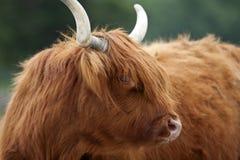 Hochland-Vieh Stockbild
