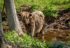 Hochland-Vieh im Strom Stockbild