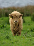 Hochland-Vieh-Kalb lizenzfreie stockfotos