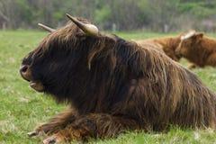 Hochland-Vieh Lügen2 Lizenzfreies Stockfoto